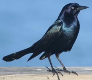 boat-tailed-grackle-male-kure-beach-121205